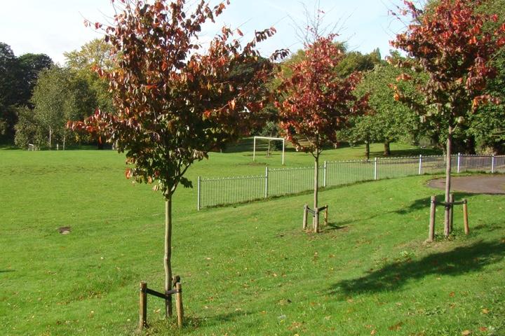 Tree planting beech
